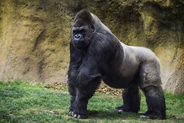 How Much Can A Gorilla Squat?