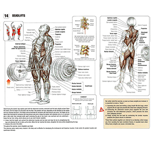 Barbell Msucles Worked Deadlifts All Primary Secondary Muscles