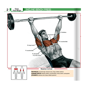 Incline Bench Press Muscles Involved In Exercising