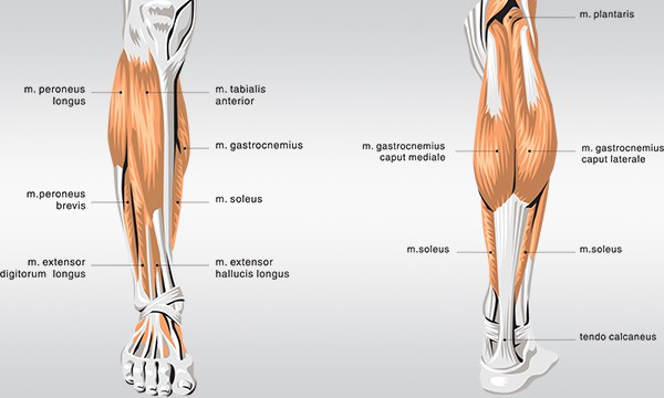how-to-get-bigger-calves-anatomy-of-calves-muscles